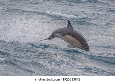 Short Beaked Common Dolphin in Australasian Waters
