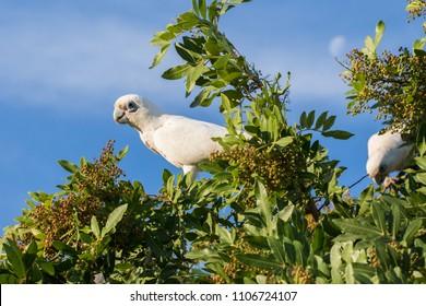 Short Billed Corellas foraging on tree