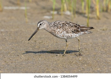 Short billed Dowitcher, Limnodromus griseus, A passage migrant foraging in a coastal lagoon,Florida, USAApril