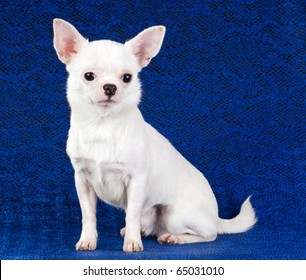 Short coat chihuahua on a blue background