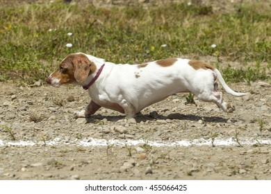 Short Dachsund in wiener dog race in Rathdrum, Idaho.