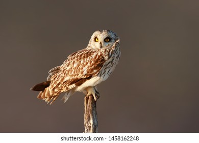 Short eared Owl Asio flammeus bir