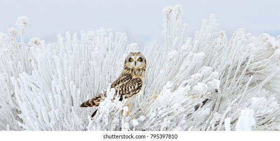 Short Eared Owl on a bush with hora frost on the branches