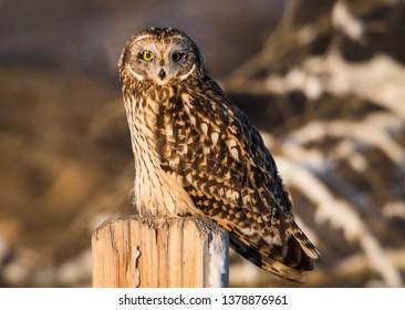 Short eared owl in the wild