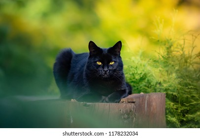 Short hair black cat laying down on stub in outdoors on blurred nature background.