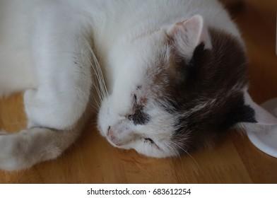 Short hair cat sleep on wooden floor.