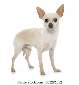 Short Hair Chihuahua High Res Stock Images Shutterstock