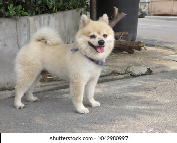 Short hair, Cream-colored Pomeranian is a breed of dog of the Spitz type that is named for the Pomerania region in Germany and Poland in Central Europe