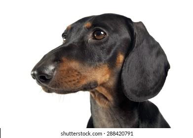 short hair dachshund portrait in a white studio