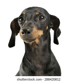short hair dachshund portrait in a white studio