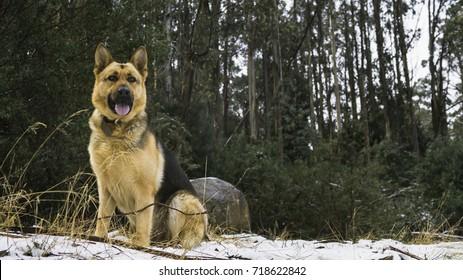 Short haired adult purebred German shepherd dog sitting on snowy ground.