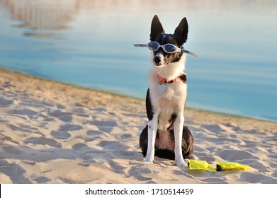 Short haired border collie in swimming glasses