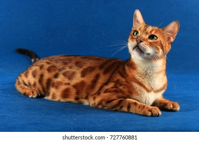 A short haired cat of marble color lies on a blue background and looks up