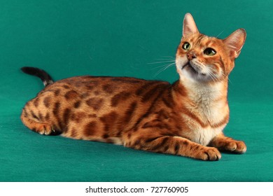 A short haired cat of marble color lies on a green background and looking up