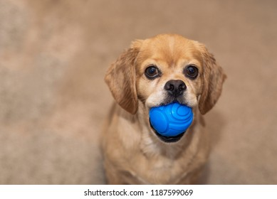 Short haired cocker spaniel, Pekingese mix looking up at camera with blue colored squishy ball in mouth.