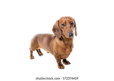 short haired Dachshund Dog isolated over white background