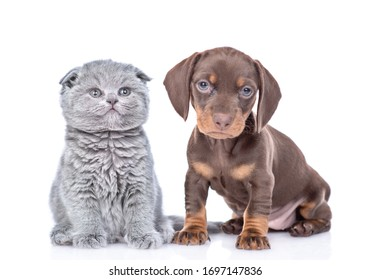 Short haired Dachshund puppy and tiny baby kitten sit together and look at camera. isolated on white background