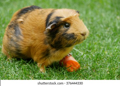 Short haired guinea pig (Cavia porcellus) eating a carrot on the grass.