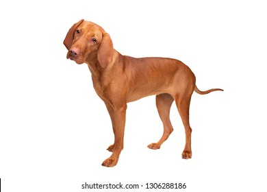 short haired Hungarian Vizsla standing in front of a white background