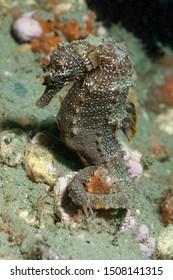 Short snouted seahorse (Hippocampus hippocampus) Granada, Spain