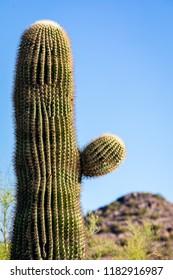 A short sonoran desert cactus standing proud in the Arizona desert