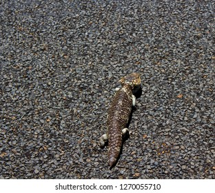 Short tailed bobtail goanna tiliqua rugosa or  blue tongued skink camouflaged against the blue metal bitumen road on an early summer afternoon.