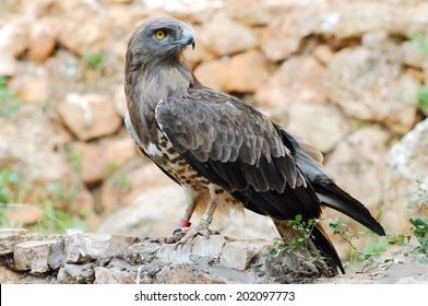 Short toed eagle ( circaetus gallicus ) in zoo