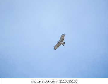 Short toed eagle flies at the blue sky.