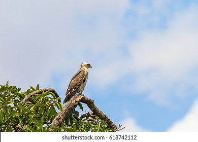 Short toed snake eagle sits in a tree top and looking
