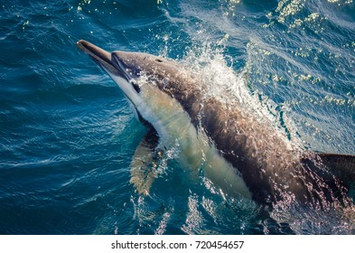 A Short-beaked Common Dolphin bow-riding alongside a whale watching vessel off Port Stephens, Australia.