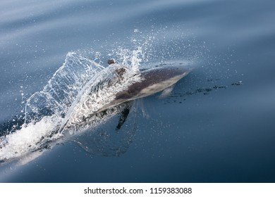 A Short-Beaked Common dolphin, Delphinus delphis, cruises in the north Atlantic Ocean off Cape Cod, Massachusetts. These quick, agile cetaceans are almost always found in pods and feed on small fish.