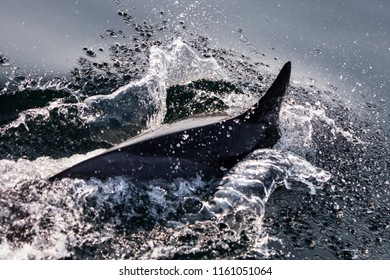 A Short-Beaked Common dolphin, Delphinus delphis, swims in the north Atlantic Ocean off Cape Cod, Massachusetts. These quick, agile cetaceans are almost always found in pods and feed on small fish.