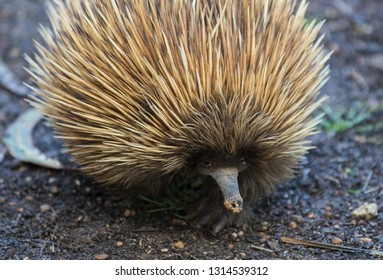 Short-beaked echidna with dirty muzzle.Tachyglossus aculeatus Australia.