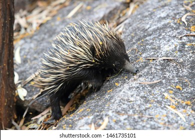 short-beaked echidna in the forest on food search  on Magnetic Island, Queensland Australia