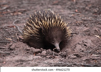 A Short-beaked Echidna, a kind of spiny anteater native to Australia.