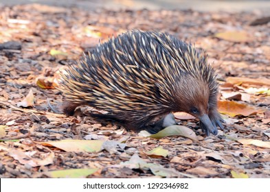 The short-beaked echidna is one of only five egg laying mammals/monotremes (this also includes three species of long-beaked echidna) in the world.