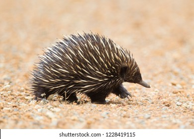 Short-beaked Echidna Tachyglossus aculeatus on gravel road near Albany, Western Australia
