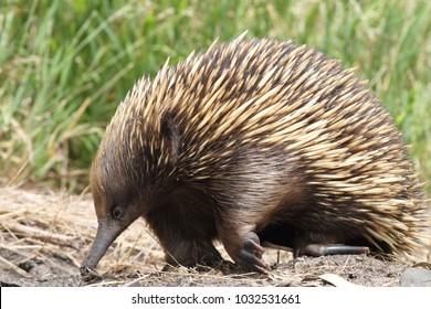 Short-beaked Echidna, Victoria, Australia