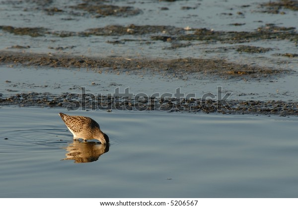 Short-billed Dowitcher with head in water