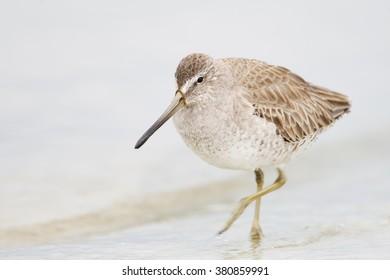 Short-billed Dowitcher (Limnodromus griseus) walking through water, Florida, USA