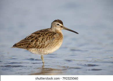 A Short-billed Dowitcher wading in water.