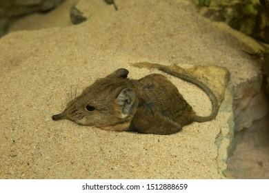 Short-eared elephant shrew (Macroscelides proboscideus).