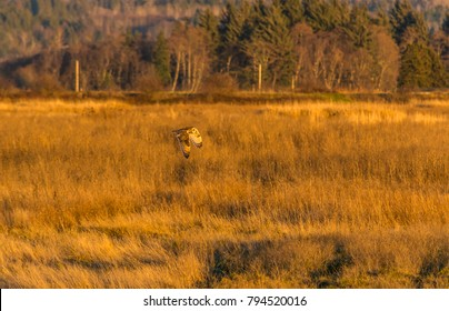 Short-eared owl (Asio flammeus) flying over a field late in the day in early winter in Samish Flats, Skagit County, Washington.