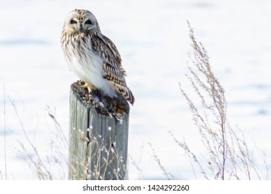 Short-eared Owl - Asio flammeus, perched at a wildlife refuge. Kelly's Slough, North Dakota