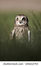 Short-eared owl, Asio flammeus, single bird in grass, captive, April 2011