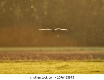 Short-eared owl in backlight flying towards the photograper with dust in the air - velduil - asio flammeus