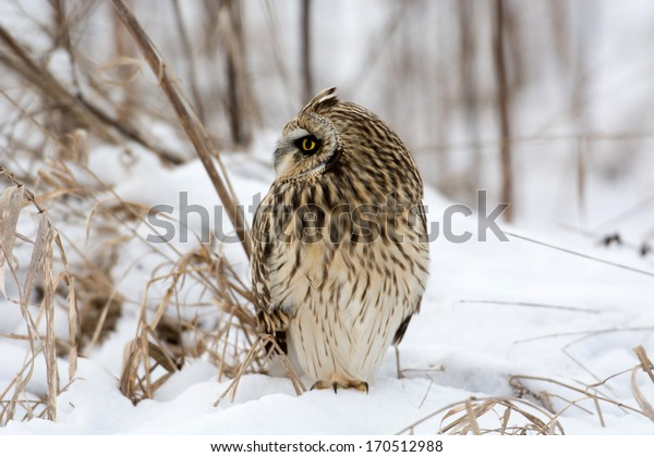Short-eared owl perched in snow following winter storm.