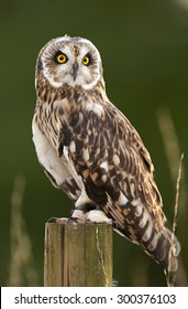A Short-Eared Owl sits on a post