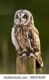 A Short-Eared Owl sits on a post (Asio flammeus)