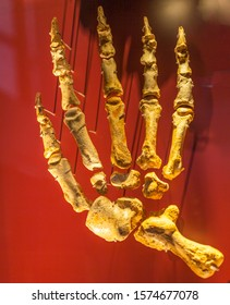 The short-faced bear belongs to a group of bears known as the Tremarctinae, which appeared in North America during the earliest parts of the late Miocene epoch in the form of Plionarctos, a genus cons